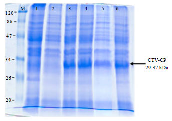 Image for - Expression of Recombinant Coat Protein (CP) of Citrus tristeza virus    for Polyclonal Antibodies Production