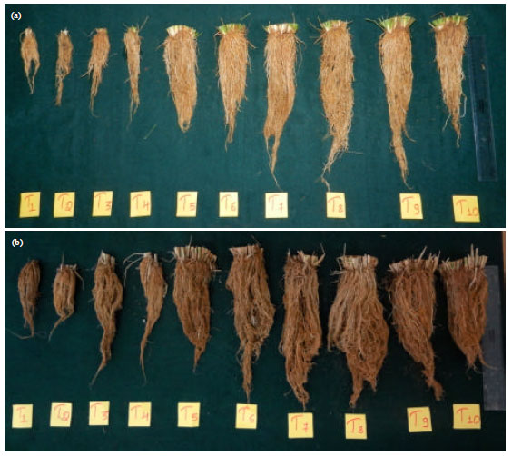 Image for - Rooting Behaviour of Aerobic Rice under Integrated Package of Agrotechniques