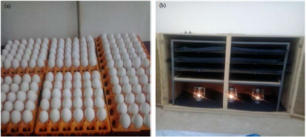 Image for - Experiment on Sand Incubator: An Alternative Mini-Hatchery Technique for Smallholder Poultry Farmers
