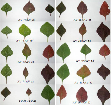 Image for - Identification of Heterotic Crosses Based on Combining Ability in Vegetable Amaranthus (Amaranthus tricolor L.)