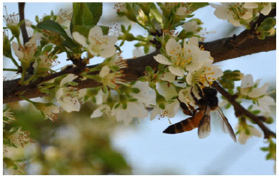 Image for - Melittophilous Mode of Pollination Predominates in European Plum (Prunus domestica L.) in the Semi-Arid Environment of Northwest India