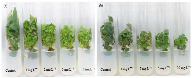 Image for - Influence of Cytokinins on the Shoot Proliferation and Subsequent Rooting in Rose