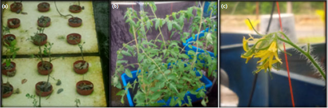 Image for - Growth Performance of Tomato Plant and Genetically Improved Farmed Tilapia in Combined Aquaponic Systems