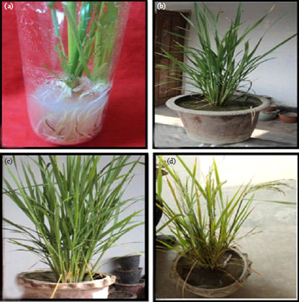 Image for - Development of Transgenic Rice (Oryza sativa L.) Plant Using Cadmium Tolerance Gene (YCFI) through Agrobacterium Mediated Transformation for Phytoremediation