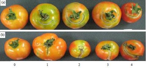 Image for - Inheritance of Fruit Cracking Resistance in Tomato (Solanum lycopersicum L.)