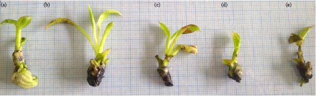 Image for - Response of Shoot and Root in vitro Cultures of Banana Plant (Musa acuminata L.) cv Barangan to Salinity Stresses