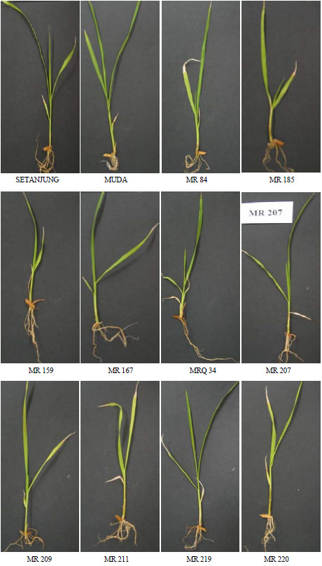 Image for - Biochemical Properties of Twelve Malaysia Rice Cultivars in Relation to Yield Potential