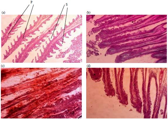 Image for - Antibacterial Activities of Mango Leaf (Mangifera indica) Extracts on Catfish Clarias gariepinus (Burchell, 1822) Infected with Pseudomonas aeruginosa