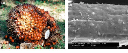 Image for - Effect of Palm Oil Mill Sterilization Process on the Physicochemical Characteristics and Enzymatic Hydrolysis of Empty Fruit Bunch