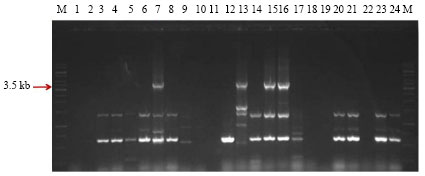 Image for - Screening of Bacillus thuringiensis Isolates Recovered from Diverse Habitats in India for the Presence of cry1A-type Genes and Cloning of a cry1Ac33 Gene Toxic to Helicoverpa armigera (American Bollworm)