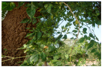 Image for - Computational Characterization of Begomovirus Infecting Two Ornamental    Plants: Jasminum sambac and Millingtonia hortensis